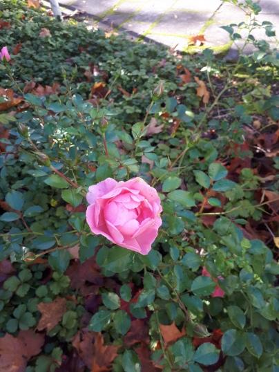 Rosen-bloggen